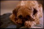Cachorro de Simon